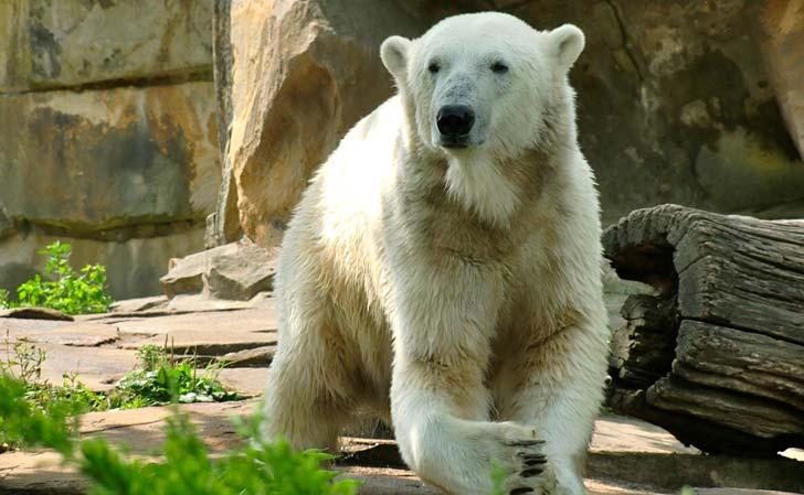 Isbjörnen Knut – född 5 december 2006, död 19 mars 2011. Foto: Thorben Geyer/Flickr